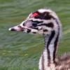 Podiceps cristatus | Great crested grebe | Haubentaucher
