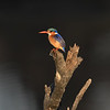 Malachite Kingfisher; 700mm 1/2000 f/6.3 ISO 2,500