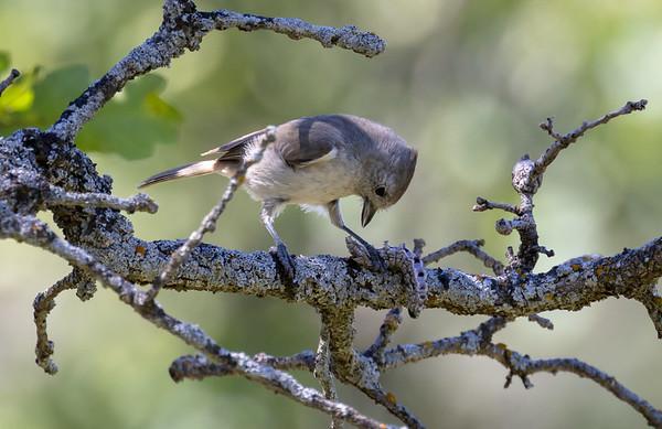 Baeolophus inornatus | Oak titmouse | Eichenmeise