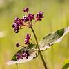 Asclepias cordifolia | Heart-leaf milkweed | Herzblättrige Seidenblume
