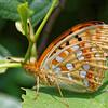 Argynnis adippe (syn. Fabriciana adippe) | High brown fritillary | Feuriger Perlmutterfalter