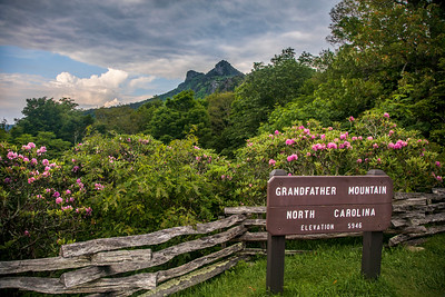 Grandfather Mountain Rhododendrons