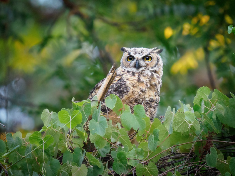 Then a couple of Great-horned Owls!