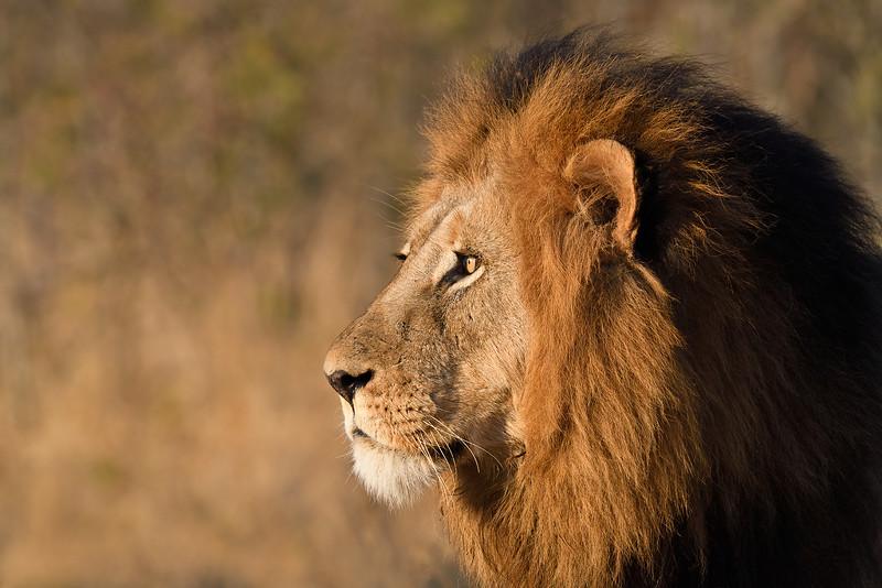 Lion Portrait; 500mm 1/4000 f/8 ISO 3,600