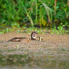 Male juvenile Wood Duck with small fish