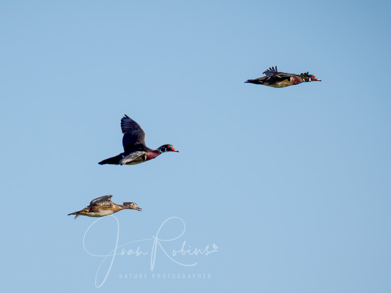 Wood Ducks from a great distance