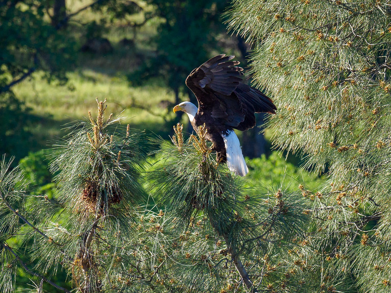 Gathering pine needles for the nest