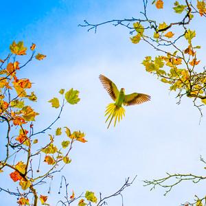 Flying Parakeet