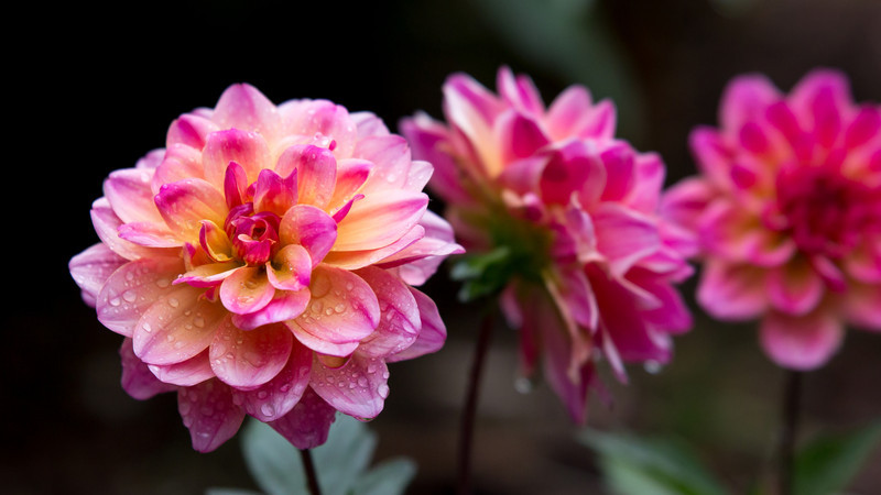 Three Pink Dahlias