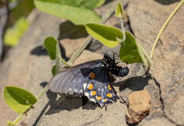 Battus philenor (laying eggs)   Pipevine swallowtail