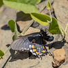 Battus philenor (laying eggs) | Pipevine swallowtail