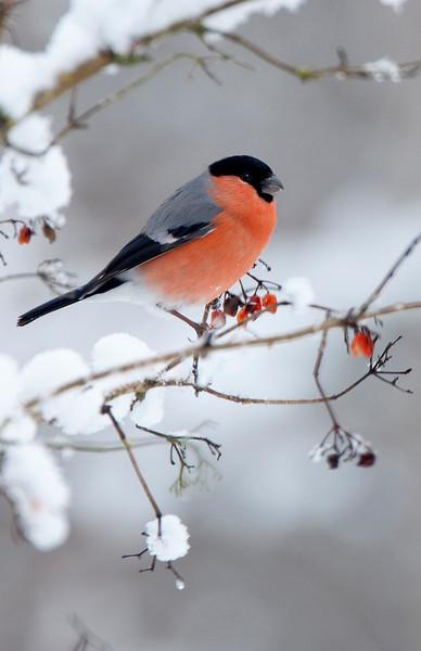 Bullfinch on snowy branch