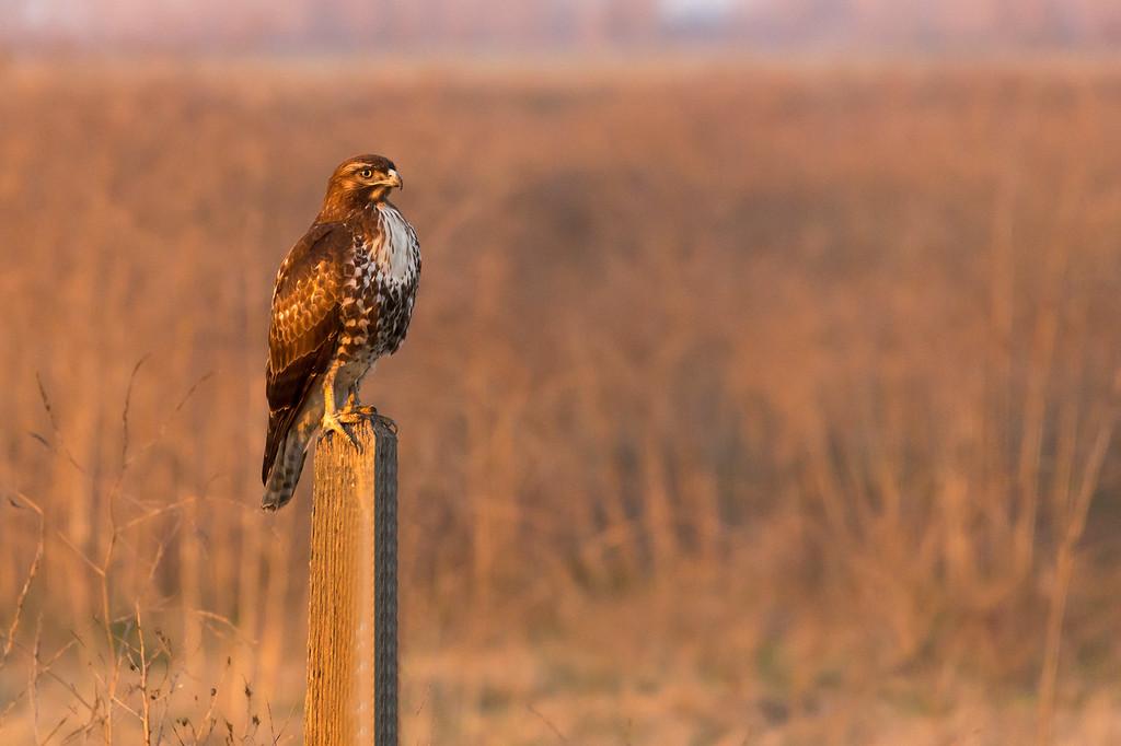 Red tailed Hawk, , Merced NWR