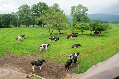 rogy_cows_pasture_445