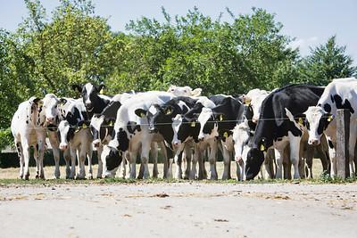 heifers-pasture_180719_030