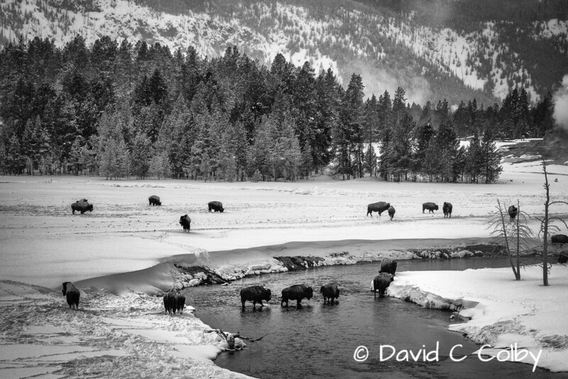 Bison crossing Fire Hole River