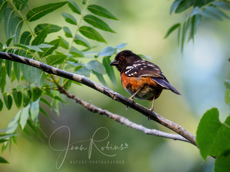Spotted Towhee at 7:45