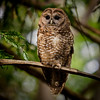 Spotted Owl in Marin County