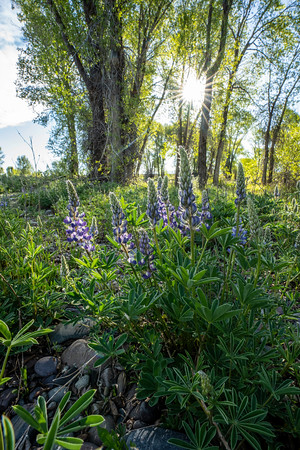 Morning Lupine