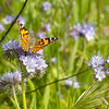 Vanessa cardui | Painted lady | Distelfalter