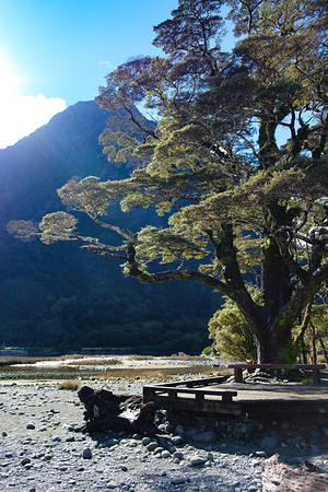 Tree on shoreline with boardwark at Milford Sound, South Island, New Zealand