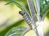 Mullein Moth Larva