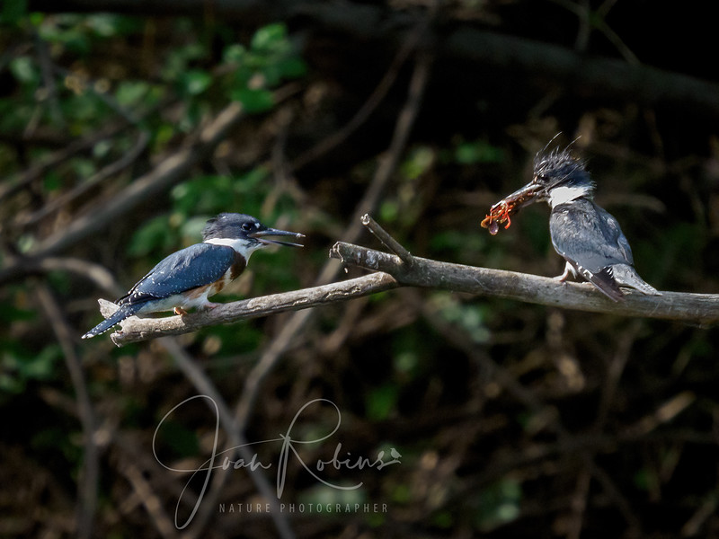 Kingfisher dad feeding large youngster at 8:30