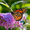 Danaus plexippus | Monarch