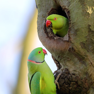 Happy Parakeets