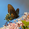 Battus philenor | Pipevine swallowtail