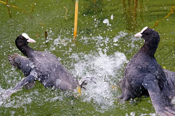 Fulica atra | Eurasian coot | Blesshuhn