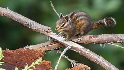 Yellow-cheeked Chipmunk