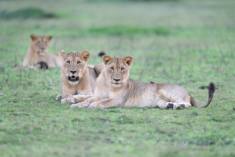 Lions; 500mm 1/1000 f4 ISO 20,000