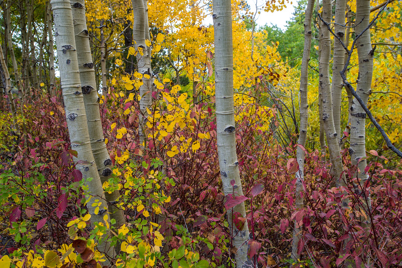 Aspen and Fall colors