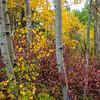 Aspen and Fall colors