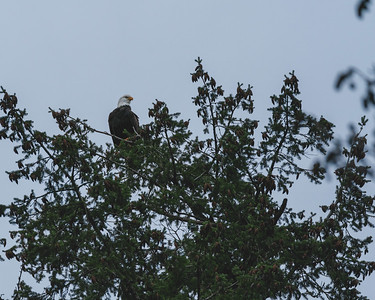New Year Bald Eagle
