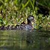 Distant Wood Duck Mom and Chicks