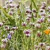 Trifolium willdenovii | Tomcat clover