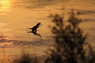 Coronet Crow Fishing — Halászó kormos varjú