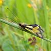 Libelloides coccajus | Owly sulphur | Libellen-Schmetterlingshaft