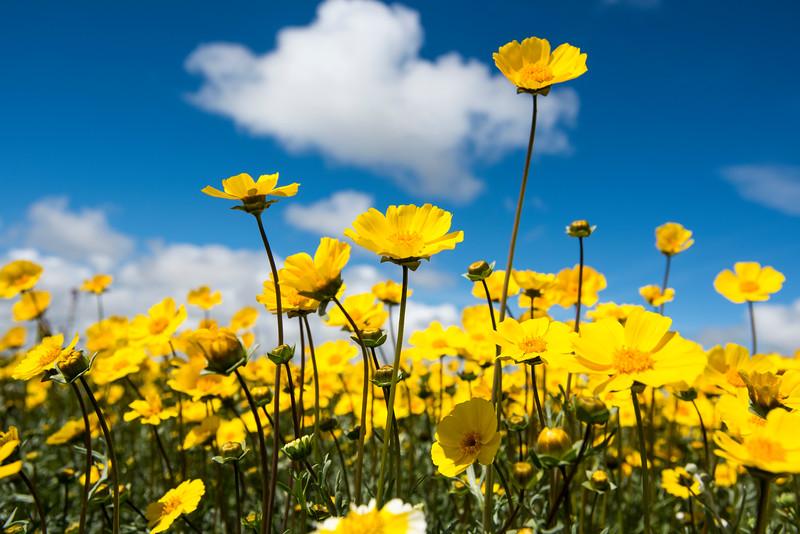 Spring wildflowers, Carrizo Plain, California