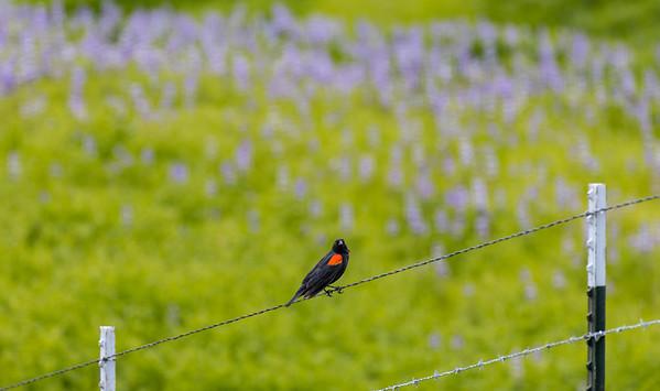 Agelaius phoeniceus | Red-winged blackbird | Rotflügelstärling