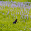 Agelaius phoeniceus | Red-winged blackbird | Rotflügelstärling