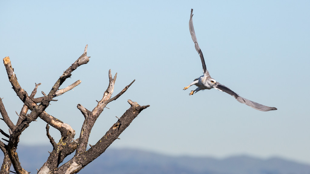 White-tailed kite, Coyote Hills RP