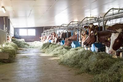 sibiria-holsteins-barn_140118-0001