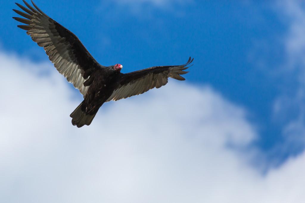 Turkey Vulture, Coyote Hills Regional Park