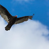 Turkey Vulture, Coyote Hills Regional Park