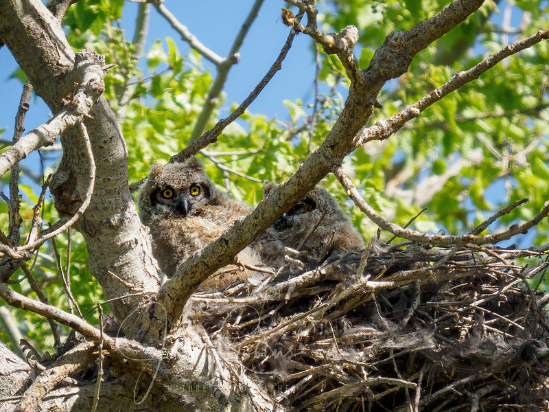 Great-horned Owlets Gray Lodge Rookery (former rookery)