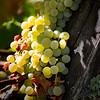 Ripe Chardonnay Grapes on the Vine