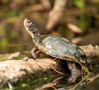 Young Wester Pond Turtle